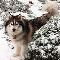 Huskies 4